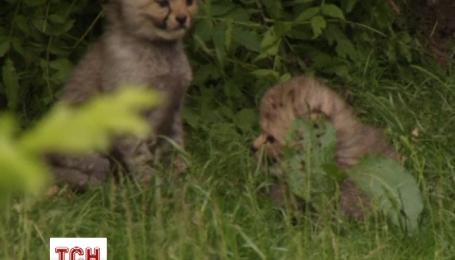 Сім дитинчат гепарда недавно народилися в німецькому зоопарку