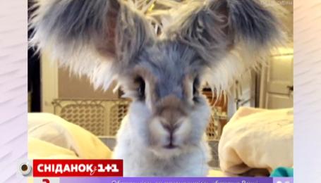 Кролик Валлі має янгольські вуха
