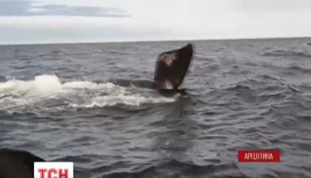 Тысячи туристов собираются в аргентинской части Патагонии, чтобы полюбоваться миграцией китов
