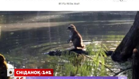 Как енот переплыл реку на аллигаторе