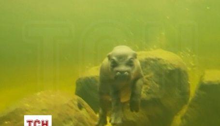 В австралийском зоопарке показали первое плавание новорожденного бегемота