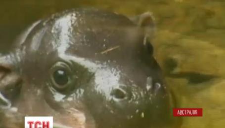 В Австралії у Мельбурнському зоопарку своє перше самостійне плавання здійснив маленький бегемот