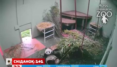 Как панда играла с куском дерева