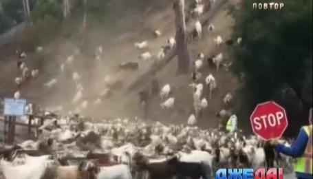 В Калифорнии дорогу перекрыли из-за нашествия коз