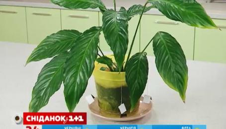 Чай поможет растениям не засохнуть, когда вы в отпуске
