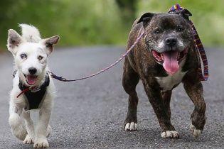 Бездомная слепая собака и ее пес-поводырь растрогали жителей Великобритании