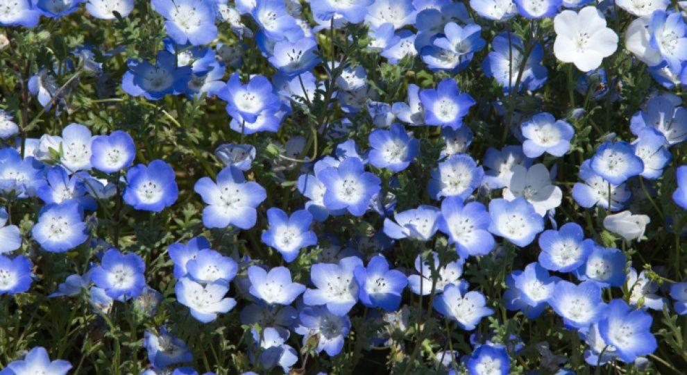 садовые цветы, что цветет во второй половине лета, немофила ...