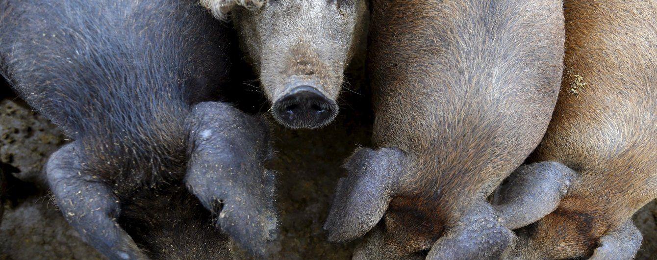 В окупованому Криму спалахнула африканська чума: до Севастополя заборонили ввозити м'ясо