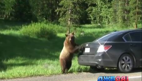 В США медведи практикуют автостоп