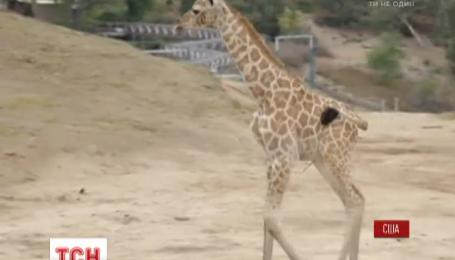В зоопарке Сан Диего двухнедельный жираф впервые вышел на публику