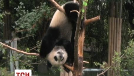 Маленькі панди люблять бавитися в своєму дитячому садку