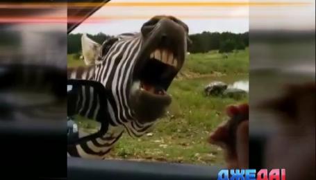 Как зебра пообщалась с водителем
