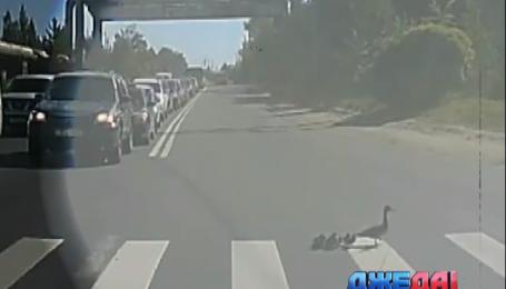 Как утята переходят дорогу по пешеходному переходу