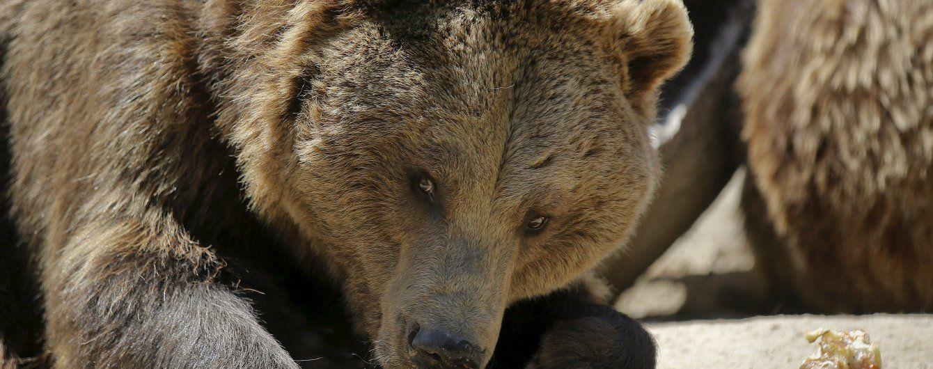 У Карпатах голодний ведмідь пошматував людину
