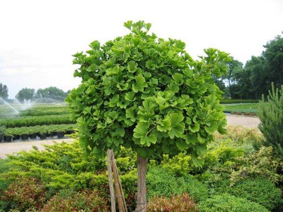 Дерево Гінкго
