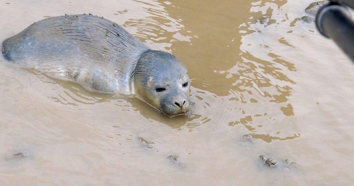 Крошечное животное удалось спасти благодаря любознательности коров @ Facebook/Natureland Seal Sanctuary
