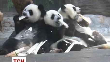 Единственные в мире тройня панд отпраздновала первый день рождения