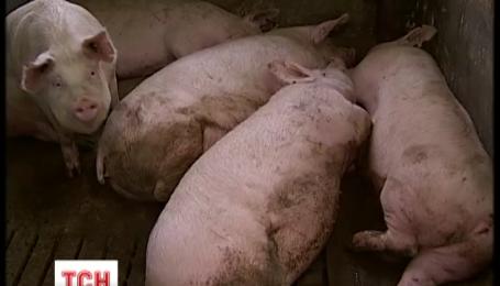 Африканська чума «косить» поголів'я свиней на Київщині