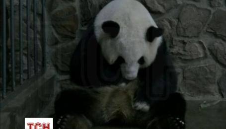 В Китае две панды родили близнецов