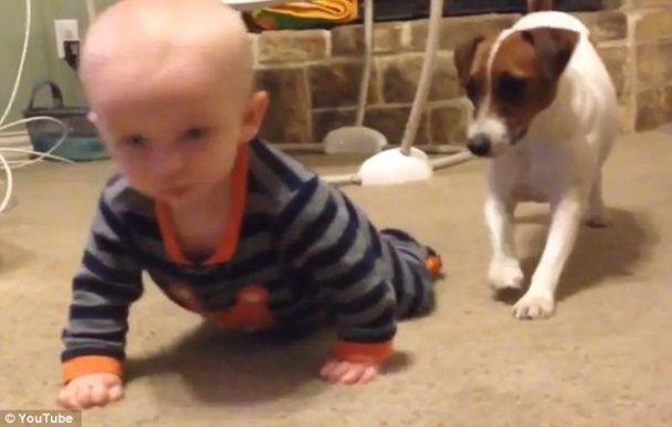 Пользователей сети умилило видео с заботливым псом, который учит малыша ползать