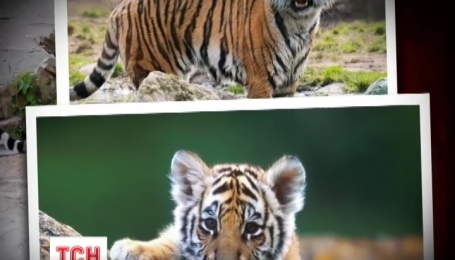 Из столичного зоопарка пропали четверо тигрят