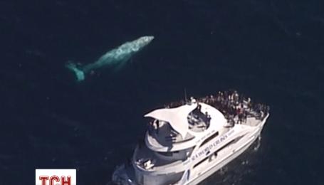 Белый горбатый кит был замечен у берегов Австралии