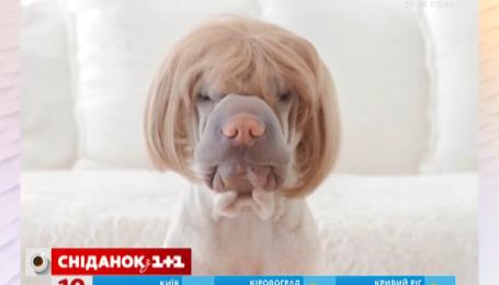 Інтернет-користувачі відшукали найбільш фотогенічного шарпея в світі