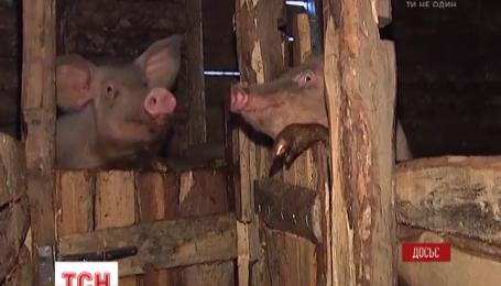 Другий спалах африканської чуми свиней зафіксували на Сумщині