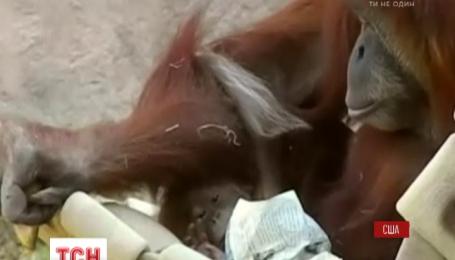 Маленький орангутанг Халесси впервые вышел в люди