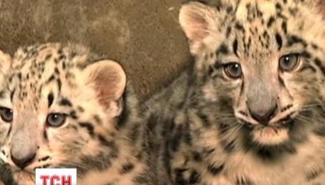 У чиказькому зоопарку народилася двійня леопардиків