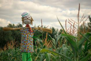 Під Києвом з'явився величезний кукурудзяний лабіринт
