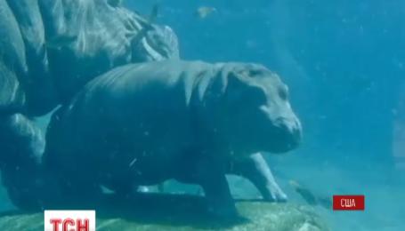 В зоопарке Сан-Диего малыш бегемота испытал новый бассейн в зверинце