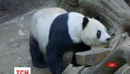В американському зоопарку Сан-Дієго відзначили День народження гігантської панди