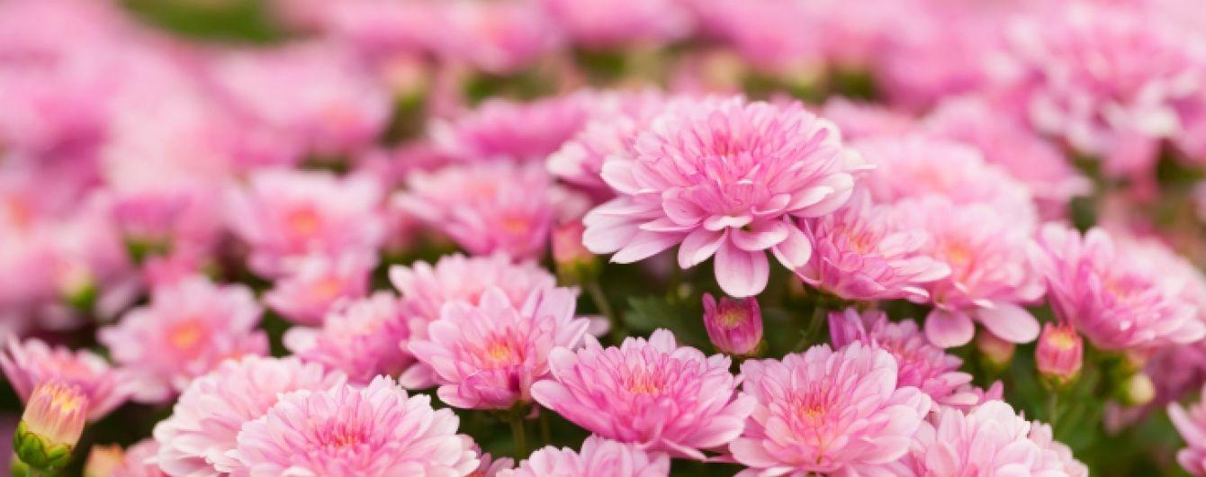 Картинки по запросу хризантемы