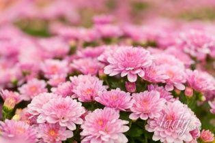Осенние радости: что делать с хризантемами после цветения