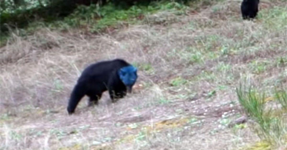 Користувачів Мережі вразило відео з ведмедицею з синьою головою