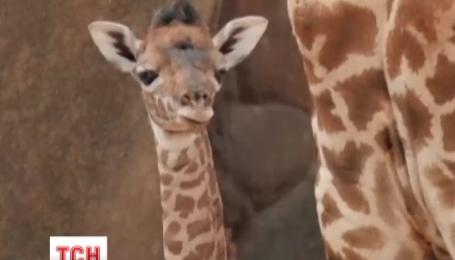 У зоопарку американського міста Х'юстон відбувся дебют маленького жирафеня Джиджи