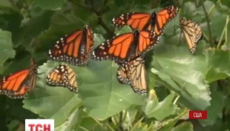 Тисячі метеликів виду «Монарх» заполонили американське місто Клівленд у штаті Огайо