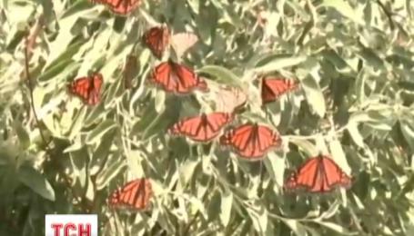 Американське місто Клівленд у штаті Огайо заполонили тисячі метеликів виду «Монарх»