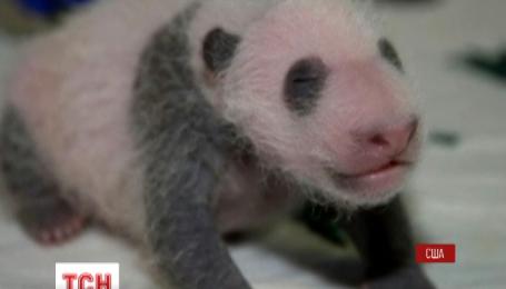 Американский зоопарк обнародовал фото-отчет о подрастании маленькой панды