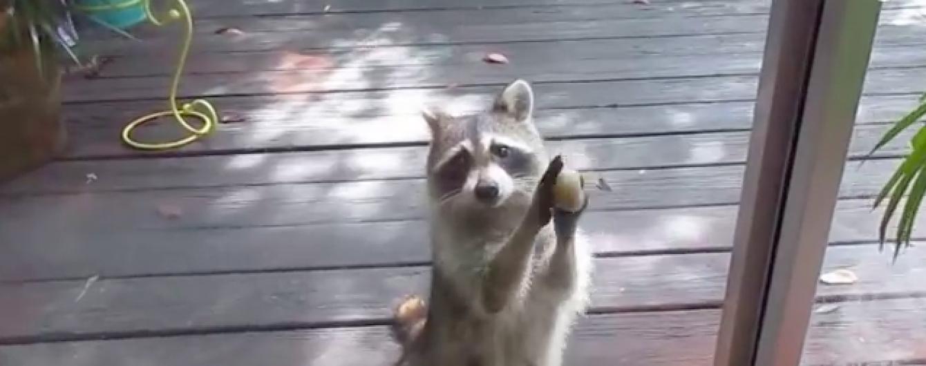 В Сети набирает популярность видео с изобретательным енотом, который выпрашивает еду