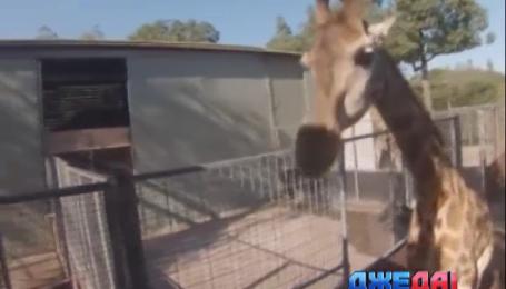 В Австралии в путешествие отправился жираф