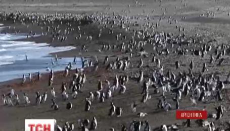 В Аргентине на полуострове Пунта Томбо пингвины буду искать себе пару