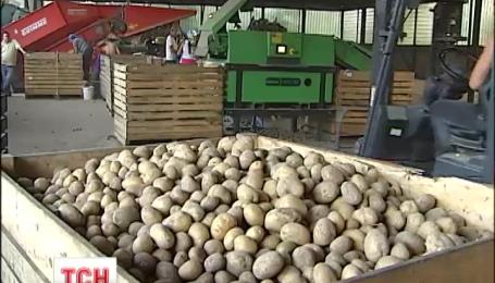 Может ли картофель стать зимой дорогим деликатесом