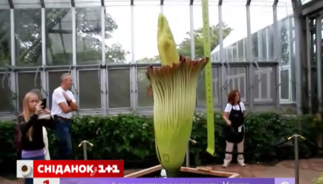 У ботанічному саду Чикаго розцвіла найбільша у світі квітка
