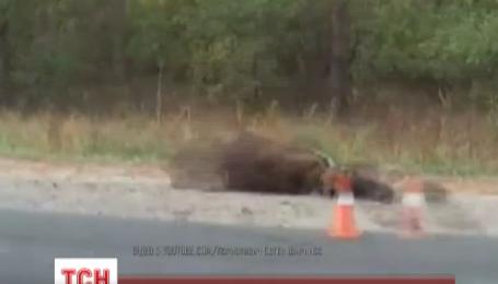 Лесной житель стал причиной аварии на Варшавской трассе под Киевом