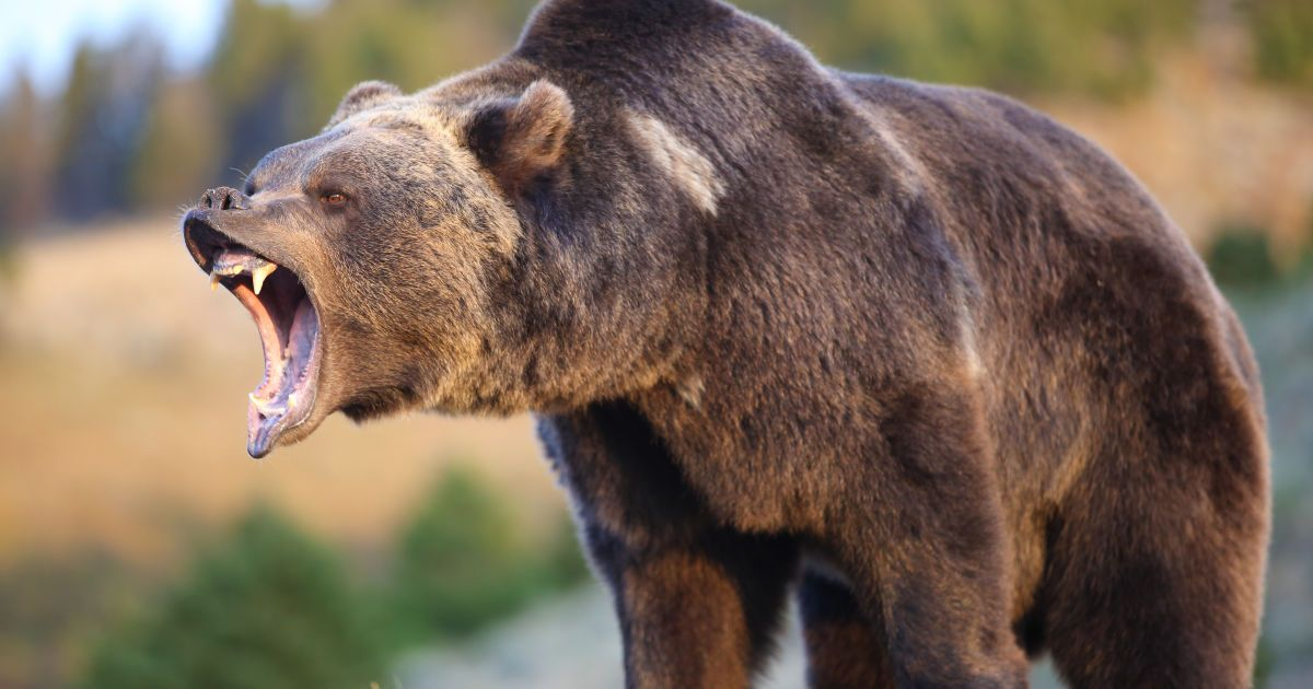 У Канаді чоловік врятувався від ведмедиці за допомогою боксерських прийомів