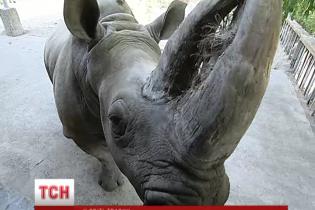 У київському зоопарку носорога посадять на дієту, а ведмедів загодовують