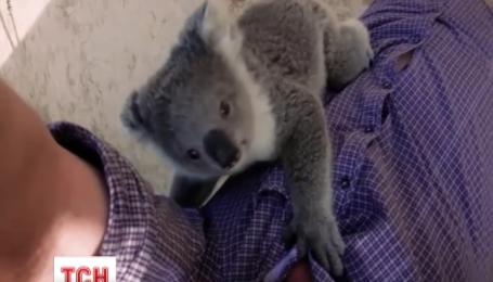 Объятия крошечной коалы покорили мир