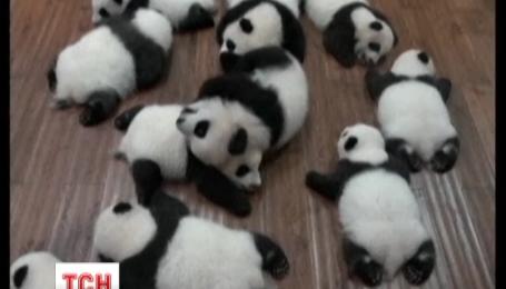 Сразу двенадцать пандят впервые появились на публике в китайской провинции Сычуань